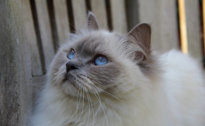7 Facts About Ragdoll Cats
