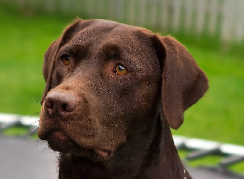 Demand for Chocolate Labs Is Making Them Sick and Prone to Early Death