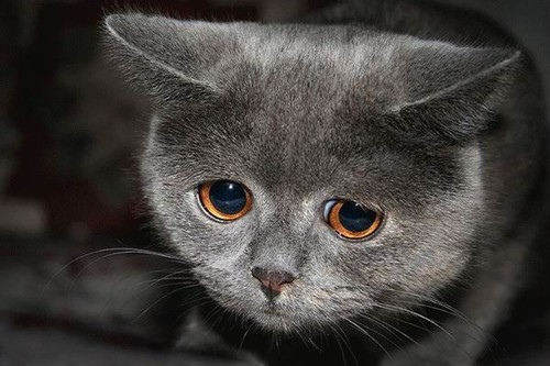Do Cats Cry?
