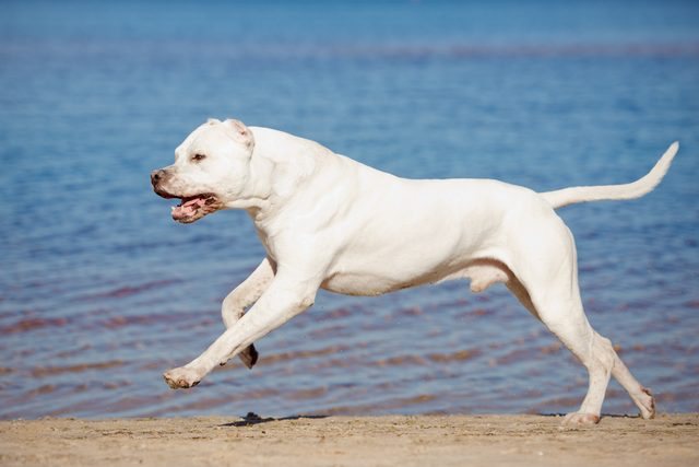 Dogo Argentino Dog Breed Facts & Information