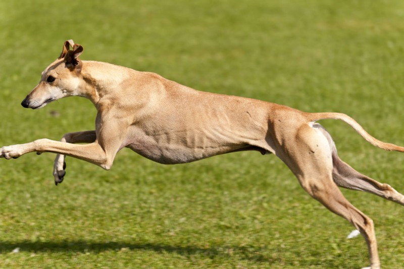 The 10 Fastest Dog Breeds