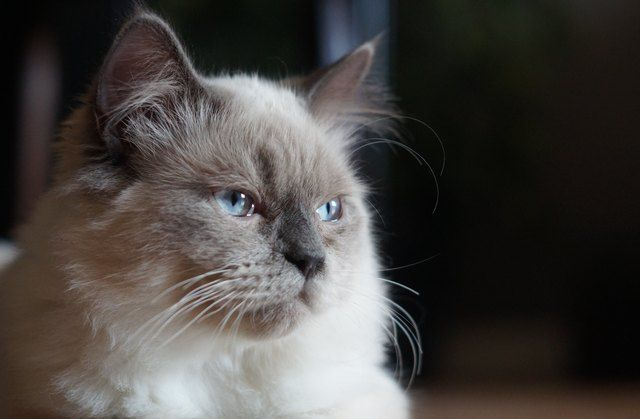 What Are the Signs of Dementia in Cats?