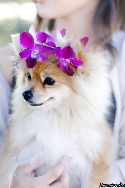 Pomeranian With Flower Crown