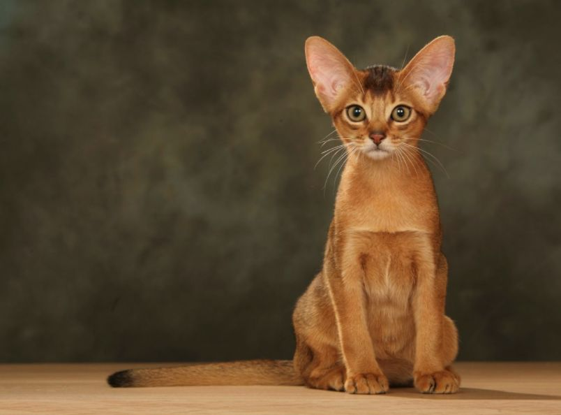 Top 5 Cute Cat Breeds For Families
