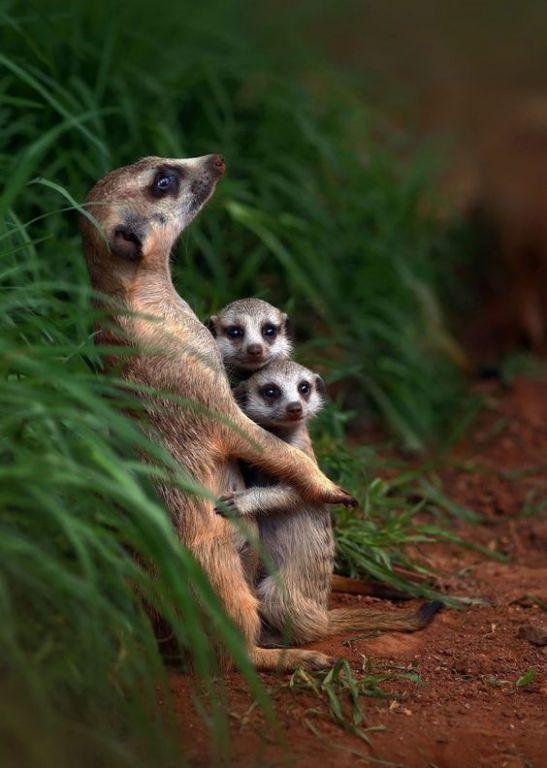 Cute Meerkat Family